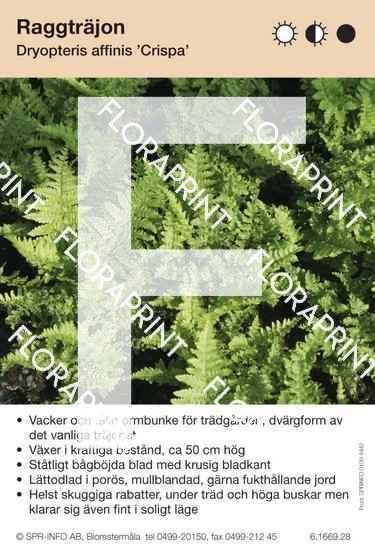 Dryopteris affinis Crispa