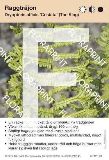 Dryopteris affinis Cristata (The King)
