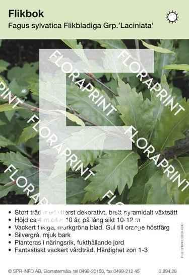 Fagus sylvatica Laciniata