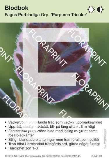 Fagus sylvatica Purpurea Tricolor