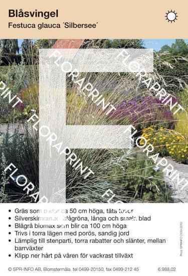 Festuca glauca Silbersee
