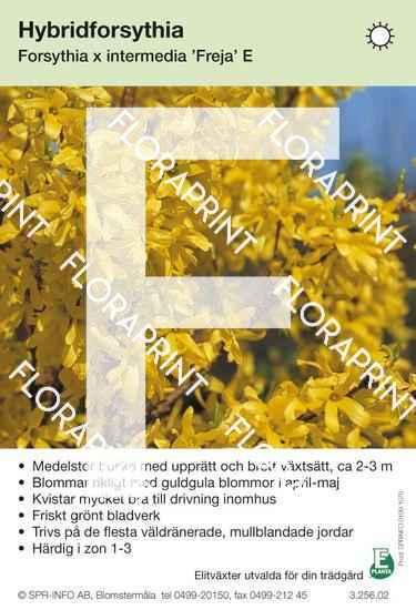 Forsythia intermedia Freja E