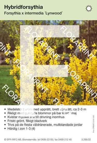 Forsythia intermedia Lynwood