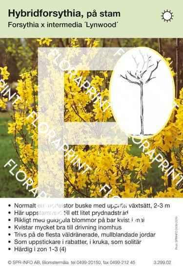 Forsythia intermedia Lynwood stam