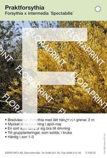Forsythia intermedia Spectabilis