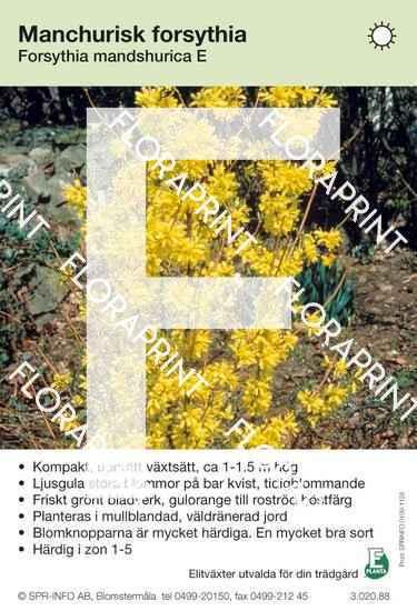 Forsythia mandschurica E