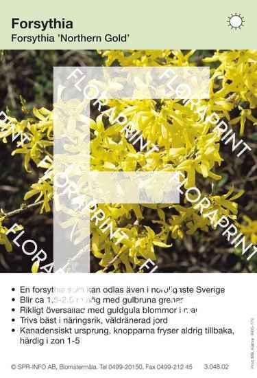 Forsythia Northern Gold