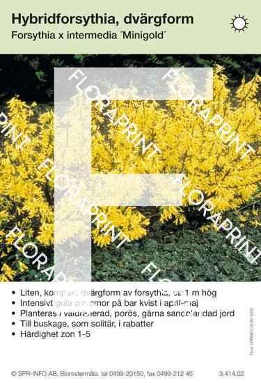 Forsythia ovata Minigold