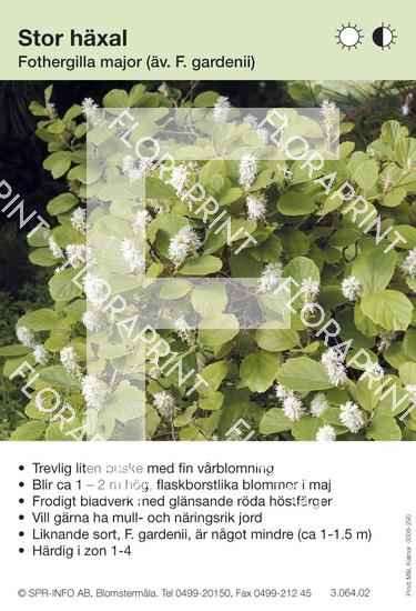 Fothergilla major (F. gardenii)