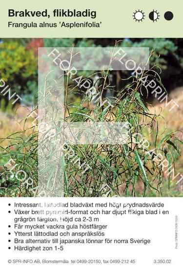 Frangula alnus Asplenifolia