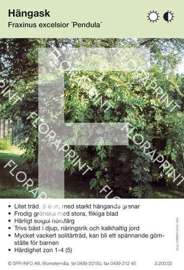 Fraxinus excelsior Pendula