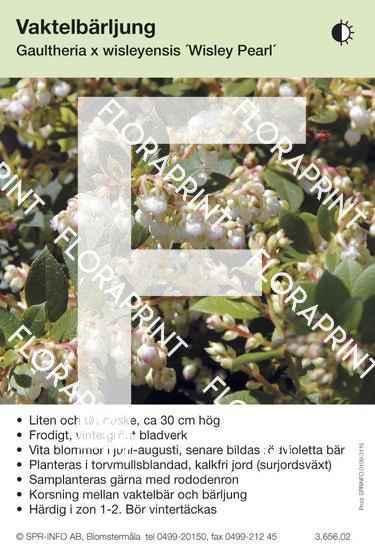 Gaultheria wisleyensis Wisley Pearl