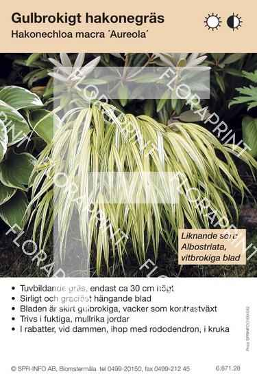 Hakonechloa macra Aureola