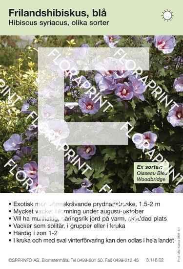 Hibiscus syriacus allmän blå