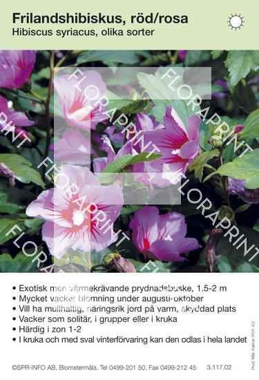 Hibiscus syriacus allmän röd