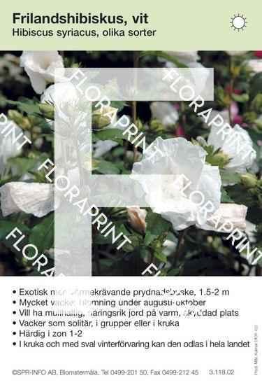 Hibiscus syriacus allmän vit