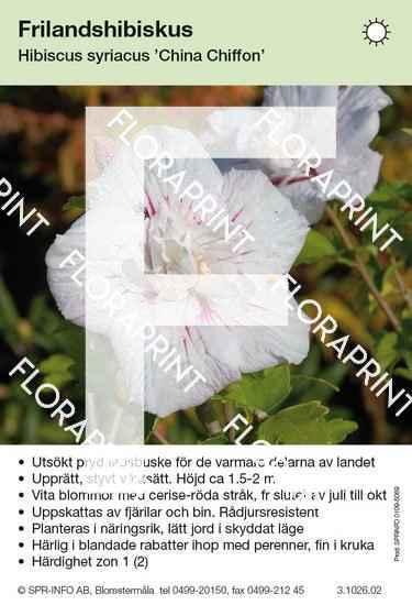Hibiscus syriacus China Chiffon