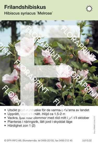Hibiscus syriacus Melrose