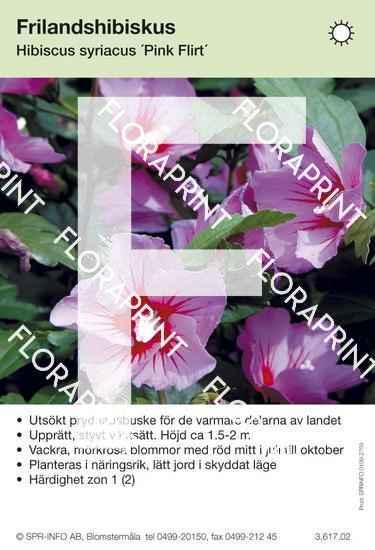 Hibiscus syriacus Pink Flirt