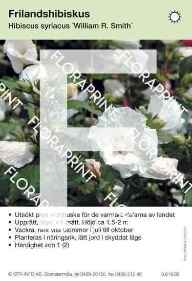 Hibiscus syriacus William R Smith