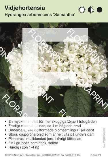 Hydrangea arborescens Samantha