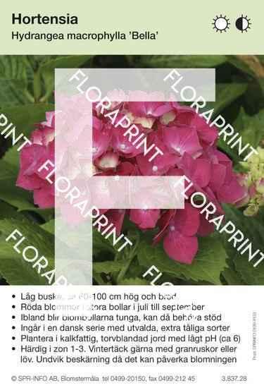 Hydrangea macrophylla Bella