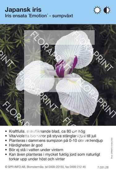 Iris ensata  Emotion