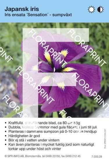 Iris ensata Sensation