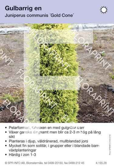 Juniperus com Gold Cone