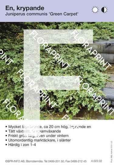 Juniperus com Green Carpet