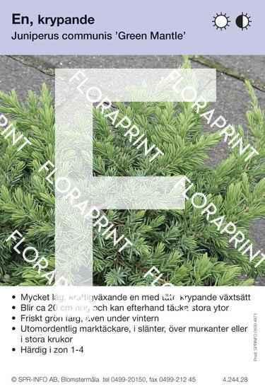 Juniperus com Green Mantle