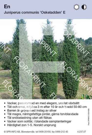 Juniperus com Oskeladden E