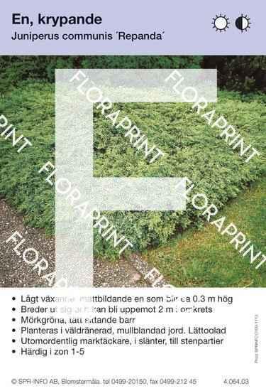 Juniperus com Repanda