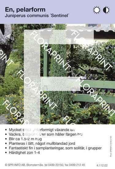 Juniperus com Sentinel