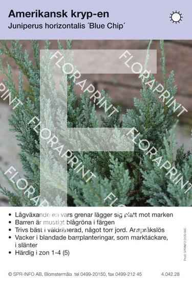 Juniperus hor Blue Chip