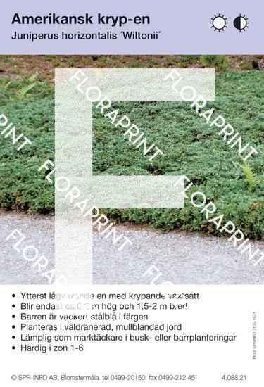 Juniperus hor Glauca (Wiltonii)