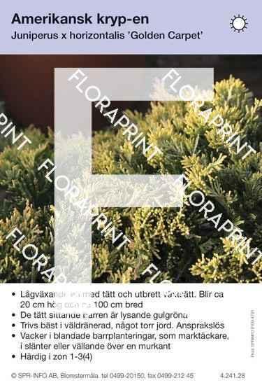 Juniperus hor Golden Carpet