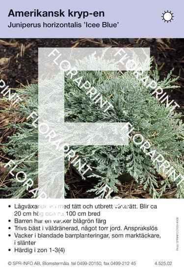 Juniperus hor Icee Blue