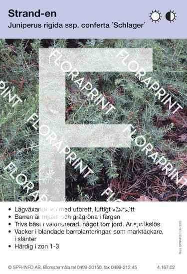 Juniperus rigida Schlager