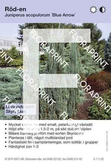 Juniperus scop Blue Arrow