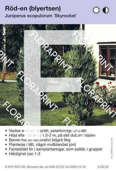 Juniperus scop Skyrocket