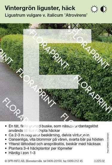 Ligustrum vulgare v ital. Atrovirens