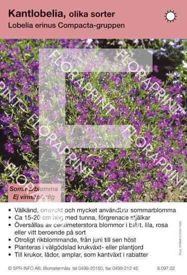 Lobelia erinus Compacta-Grp