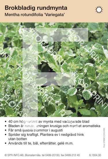 Mentha rotundifolia Variegata