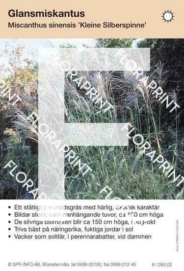 Miscanthus sinensis Kleine Silberspinne
