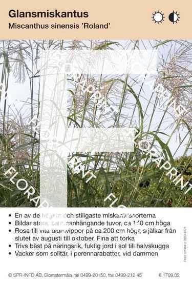 Miscanthus sinensis Roland