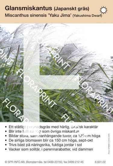 Miscanthus sinensis Yaku Jima