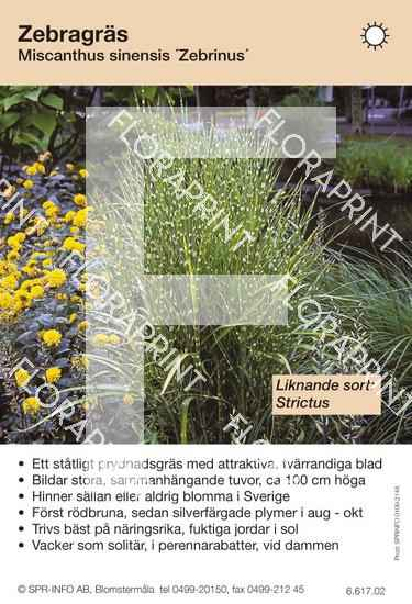 Miscanthus sinensis Zebrinus (sorter:)