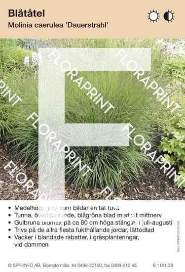 Molinia caerulea Dauerstrahl