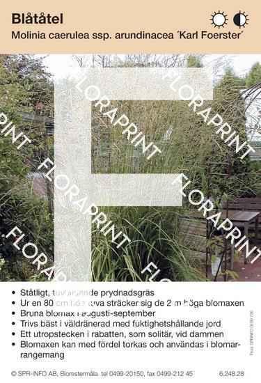 Molinia caerulea ssp arund Karl Foerster